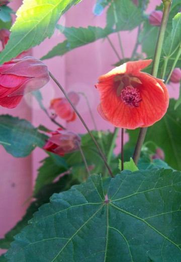 Abutilon 'Fairy Coral Red'