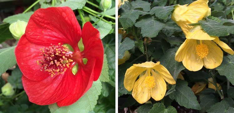Abutilon Flowering Maple Portland Nursery