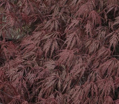 Acer 'Crimson Queen'