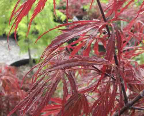 Acer 'Red Dragon'