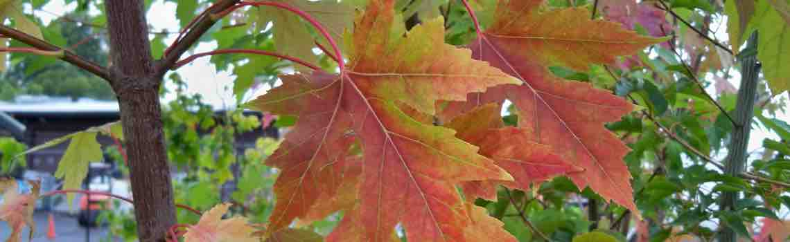 acer-fall-color