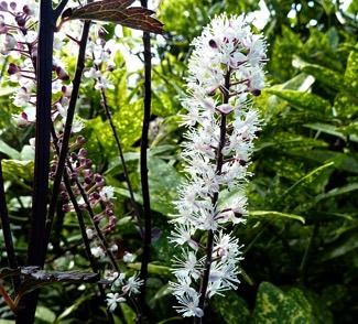 Actaea racemosa 'Atropurpurea'