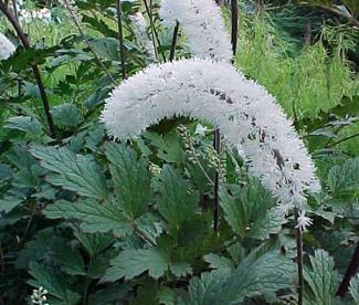 Actaea matsumurae 'White Pearl'