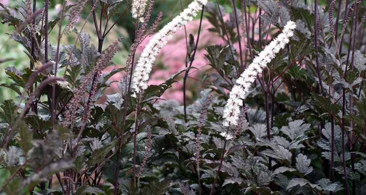 Actaea_Black_Negligee