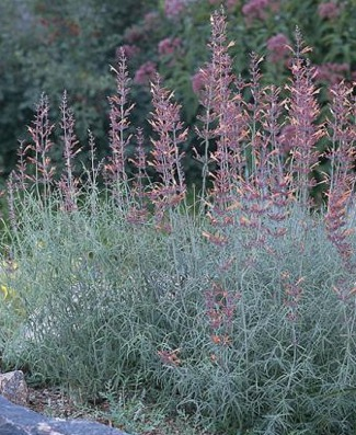 Agastache rupestris - Licorice Mint, Sunset Hysso