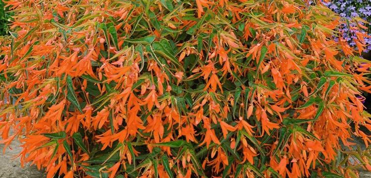 Begonia 'Bonfire'