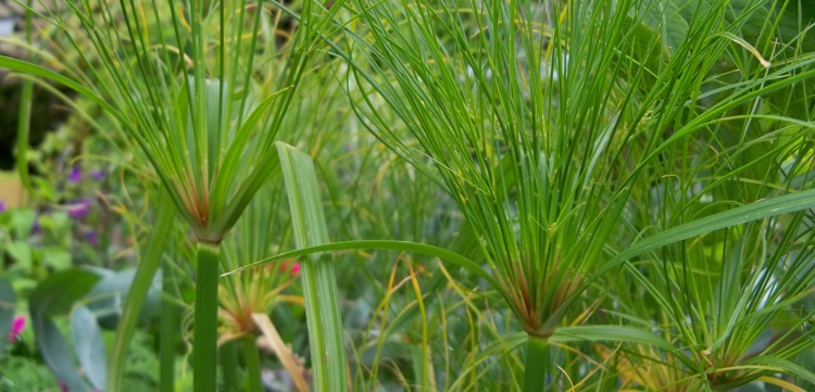 Cyperus 'King Tut'