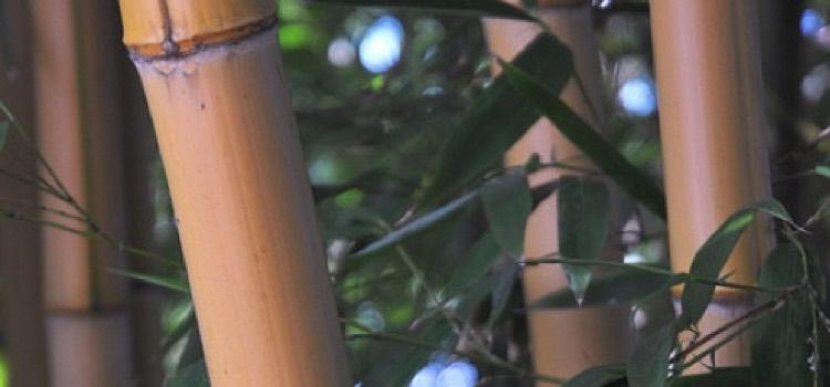 Phyllostachys: Bamboo | Portland Nursery