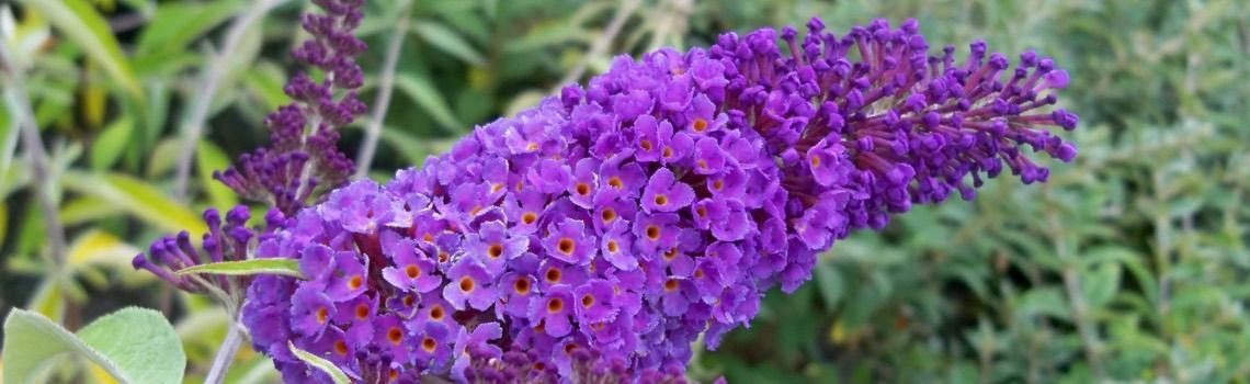 Well-known Buddleia: Seedless Butterfly Bush | Portland Nursery EI65