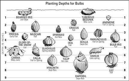 planting-depths-for-bulbs430