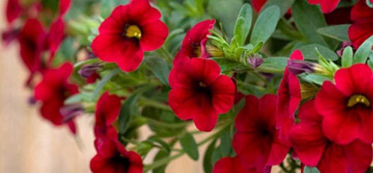 MiniFamous Compact Red calibrachoa