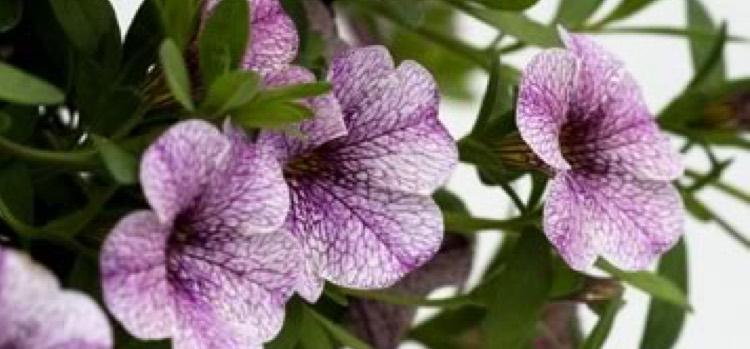 Superbells Trailing Lilac Mist