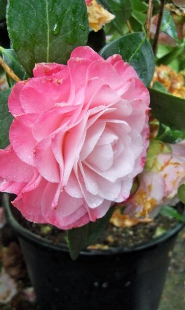Camellia Portland Nursery