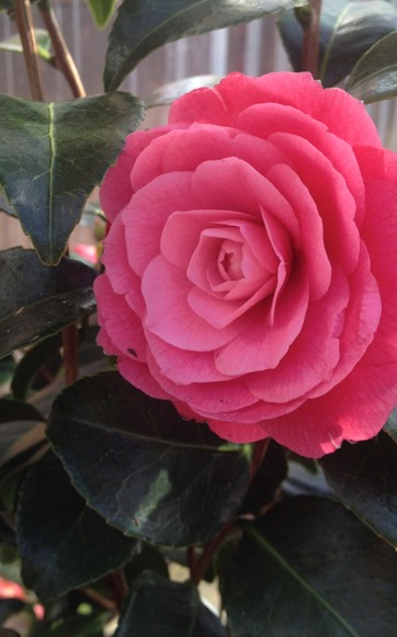 Camellia portland nursery camellia mightylinksfo