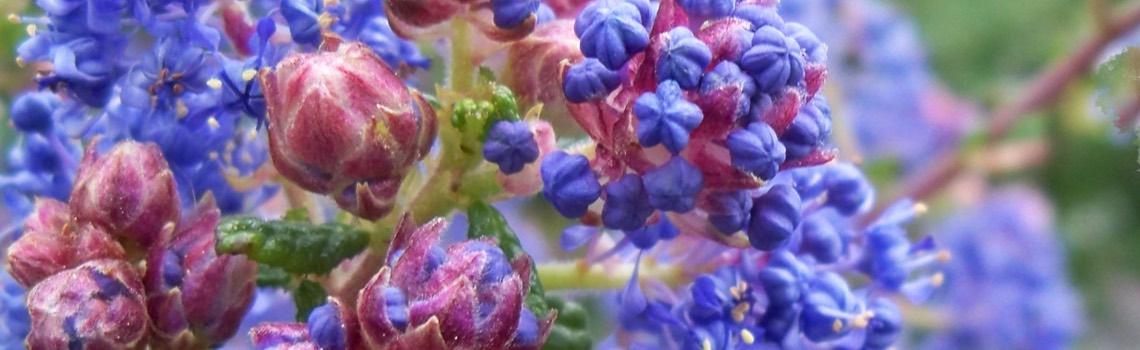 Ceanothus California Wild Lilac