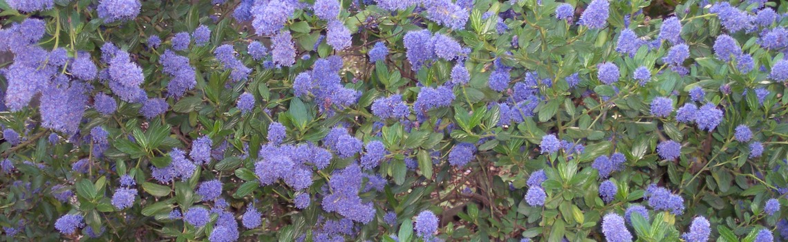 Native Ceanothus Wild Lilac