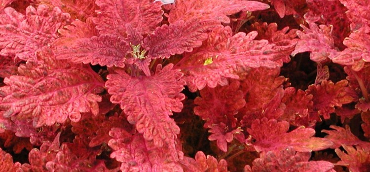 Coleus 'Stained Glass Copper'