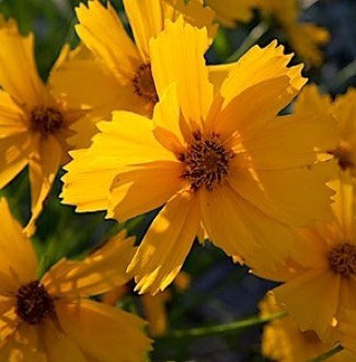 Coreopsis 'flyingsaucers'