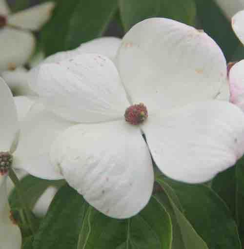 Cornus dogwood portland nursery cornus florida x cornus nuttallii eddies white wonder eddies white wonder dogwood mightylinksfo