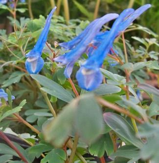 Corydalis 'Blue Heron'