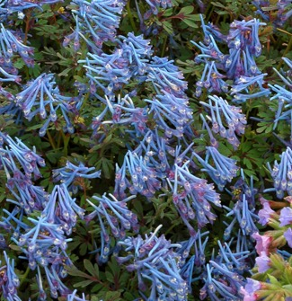 Corydalis 'Purple Leaf'