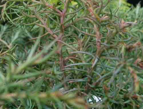 Cryptomeria japonica 'Elegans Compacta'