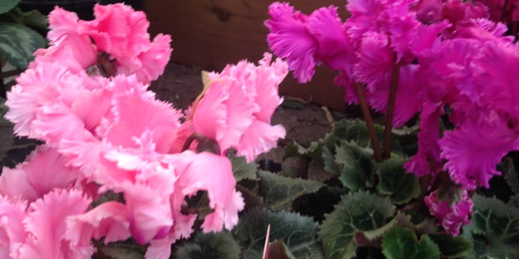 Cyclamen Frilly Mix