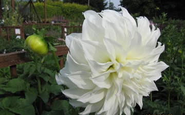 Dahlia 'Fleurer'