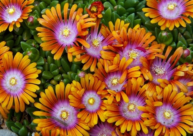Top perennials for sun portland nursery delosperma cooperi ice plant mightylinksfo