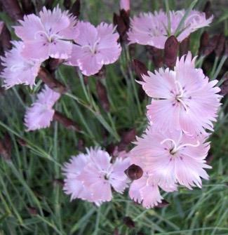 dianthus gratianopolitbath s pink cheddar pink