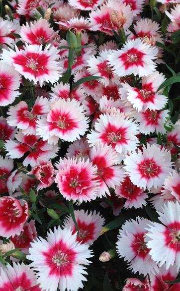 Dianthus Carnation