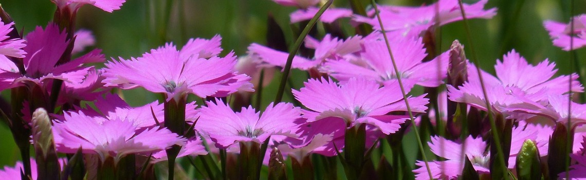 2fd6964a834b Dianthus  Carnation