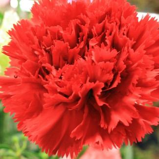 Dianthus Grenadin Series