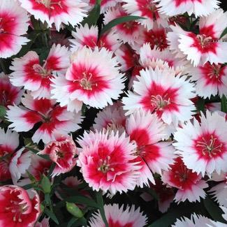 Dianthus 'raspberry Parfait'