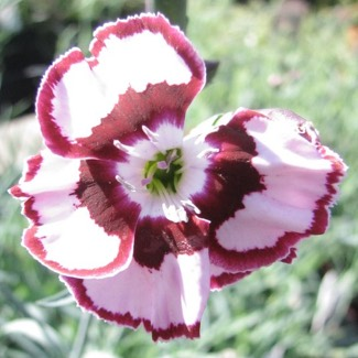 Dianthus Maiden Pinks 'Raspberry Swirl'