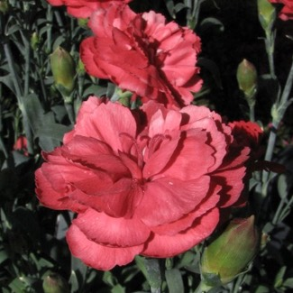 Dianthus caryophyllus 'Super Trooper Red and White'