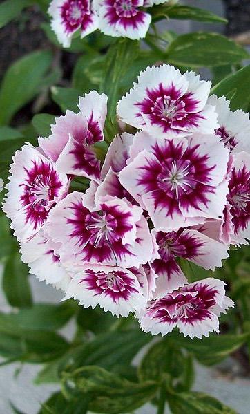 Dianthus 'Sweet William'