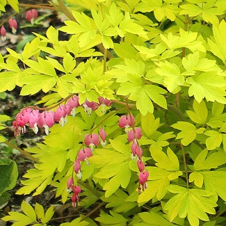 Dicentra spectabalis 'Gold Heart'