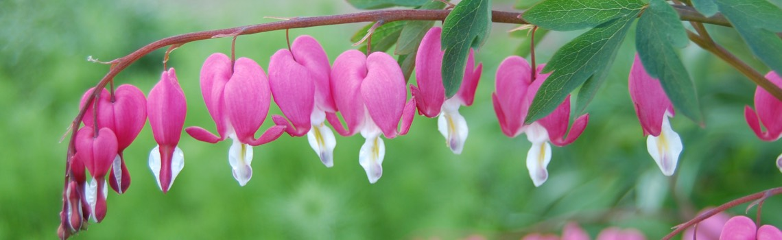 Dicentra Bleeding Heart Portland Nursery