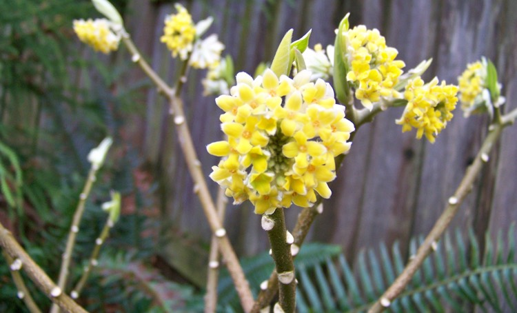 Edgeworthia chinese paper bush portland nursery there is a bit of yellow fall color nothing to write home about in autumn after leaves have fallen bare branches host silver hair covered flower buds mightylinksfo
