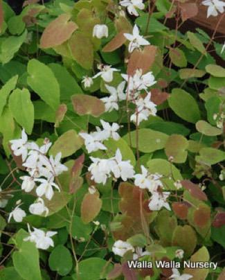 Epimedium x youngianum 'Nieveum'