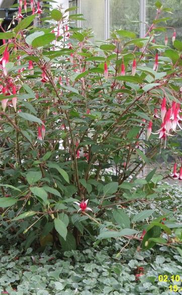 Fuchsia 'Checkerboard'