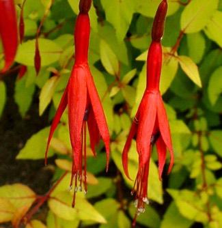 Fuchsia magellanica 'Aurea'