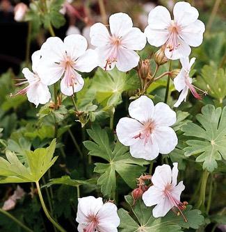 Geranium x cantabriginiense 'Biokovo'