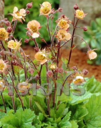 Geum avens portland nursery geum rivale coppertone mightylinksfo