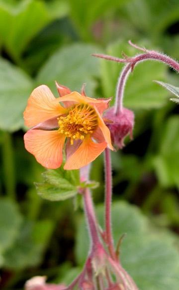Geum avens portland nursery geum totally tangerine geum marmalade mightylinksfo