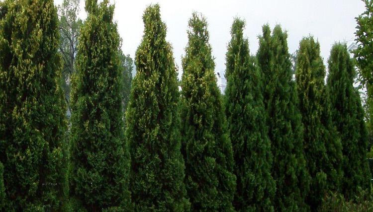 Arborvitae'