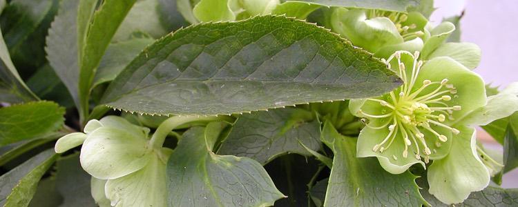 Helleborus argutifolius
