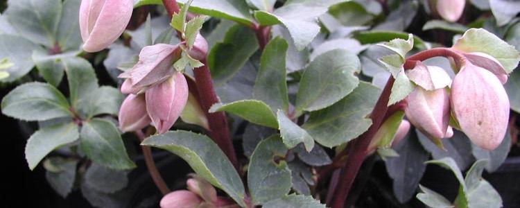 Helleborus hybrid 'Ivory Prince'