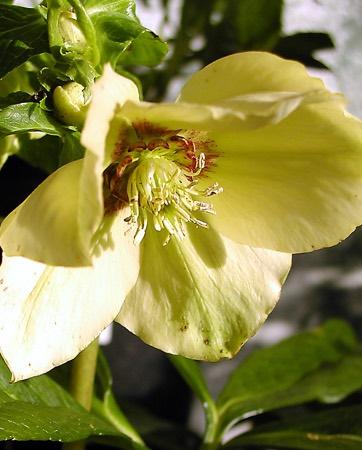 Helleborus hybrid